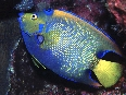 Queen Angelfish (75k)